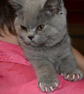Isis is an absolute cute kitten, british blue short haired wearing softpaws nails exclusive to Kylies Cat Grooming Services