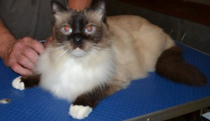 Jinks - After Photo -r Jinks - Ragdoll breed, all knots and mattered fur brushed out bottom and feet pads clipped. Pampered by Kylies Cat Grooming Services also all size dogs
