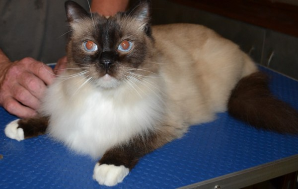 Mr Jinks – Ragdoll breed, all knots and mattered fur brushed out bottom and feet pads clipped. Pampered by Kylies Cat Grooming Services also all size dogs