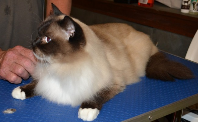 Jinks –  After Photo – r Jinks – Ragdoll breed, all knots and mattered fur brushed out bottom and feet pads clipped. Pampered by Kylies Cat Grooming Services also all size dogs