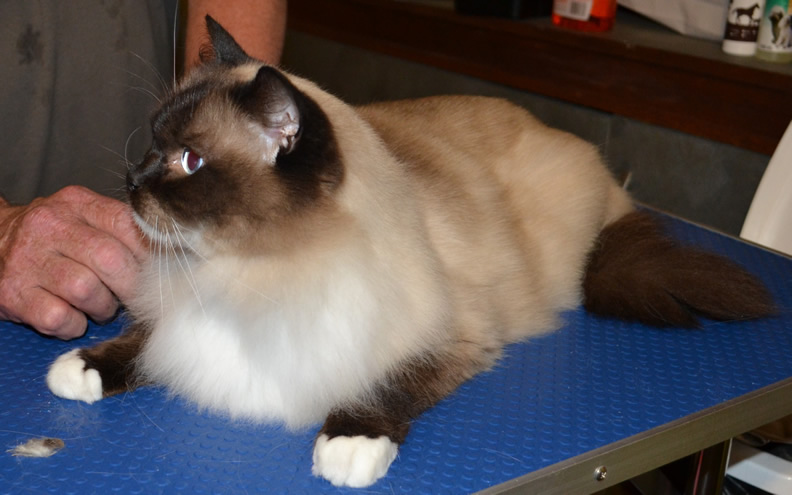 Jinks - After Photo r Jinks - Ragdoll breed, all knots and mattered fur brushed out bottom and feet pads clipped. Pampered by Kylies Cat Grooming Services also all size dogs