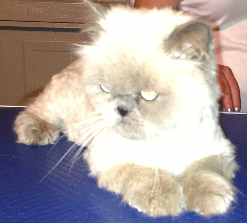 Fluffy is a Himalayan.Cared and groomed by Kylies cat grooming services, Contact Kylies Cat and small Grooming Services for more information.