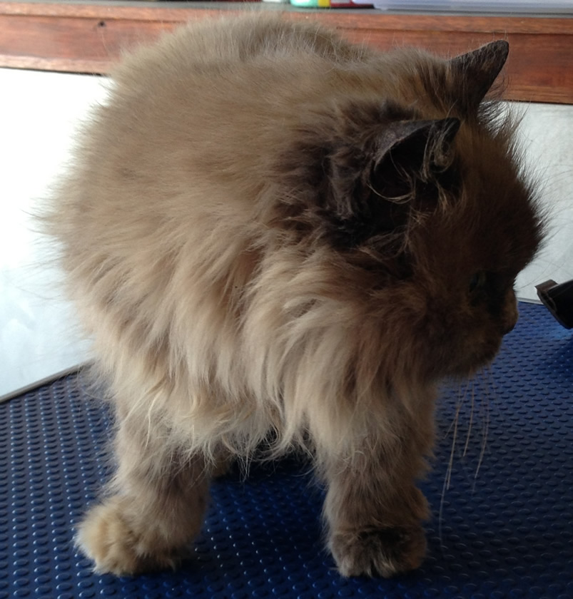 Milo is an 18 yr old Persian mixed pampered by Kylies Cat Grooming Services Also All Size Dogs