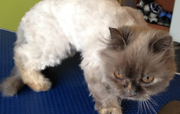 Milo is an 18 yr old Persian mixed that was so matted and now has been pampered by Kylies Cat Grooming Services Also All Size Dogs