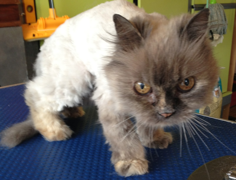 Cared and groomed by Kylies cat grooming services, Contact Kylies Cat and small Grooming Services for more information.
