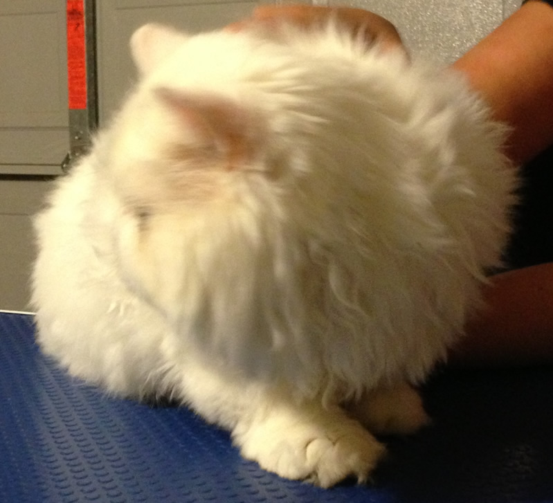 Mr Myagi is a Persian. Pampered by Kylies Cat Grooming Services Also All Dogs..