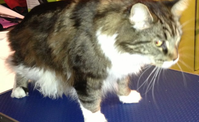 Persephone is a Maine Coon. Pampered by Kylies Cat Grooming services Also All Size Dogs.