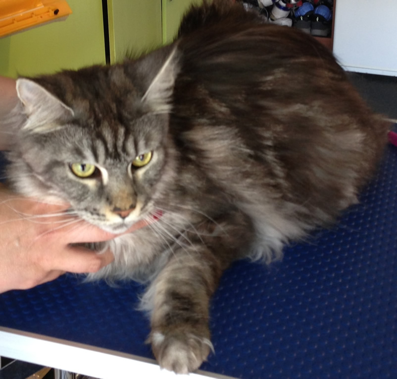 Tiberius is a Maine Coon. Pampered by Kylies Cat Grooming services Also All Size Dogs.
