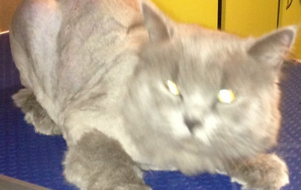 This is Buttermilk, Buttermilk is a long Haired British Blue that was so matted along her back and sides. Pampered by Kylies Cat Grooming Services Also All Size Dogs