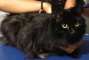 Coco is a 3 yr old Persian Mixed pampered by Kylies Cat Grooming Services Also All Size Dogs