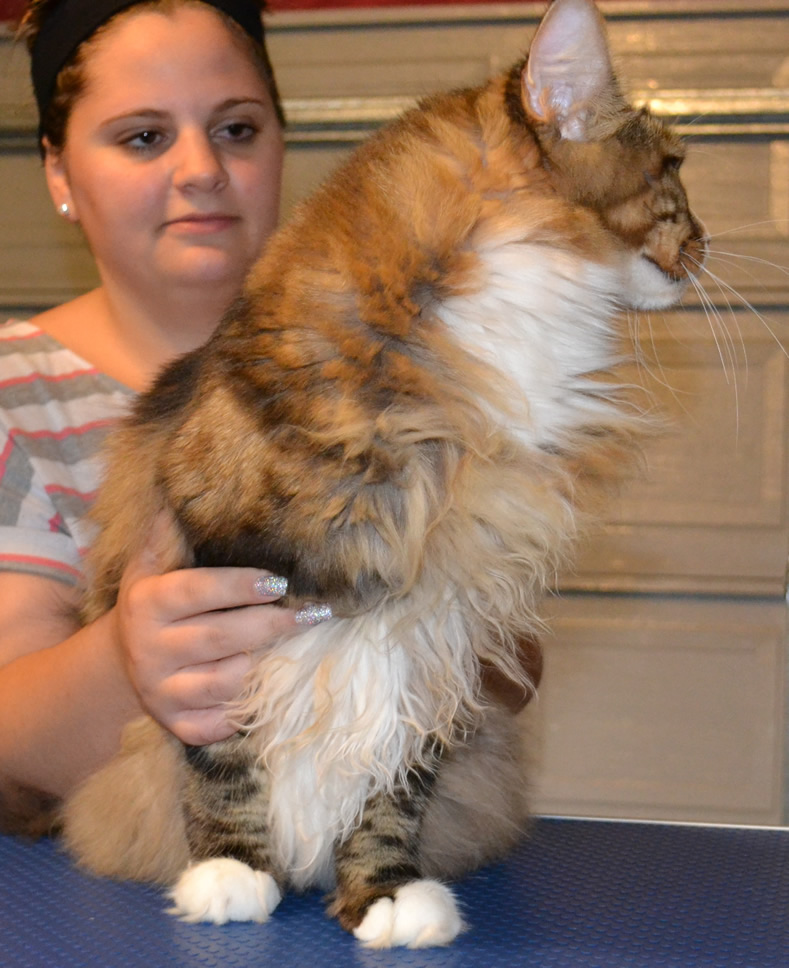 Before Shot - Diego is a MaineCoon Breed pampered by Kylies Cat Grooming Services and also all size dogs