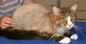 After Shot - Diego is a MaineCoon Breed pampered by Kylies Cat Grooming Services and also all size dogs