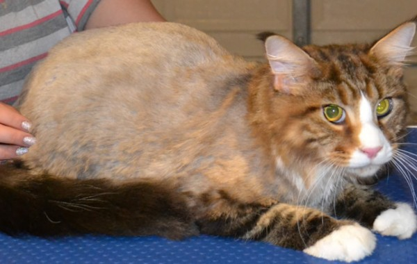 Diego is a Maincoon breed pampered by Kylies Cat Grooming Services also all size dogs