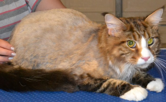 After Shot – Diego is a MaineCoon Breed pampered by Kylies Cat Grooming Services and also all size dogs