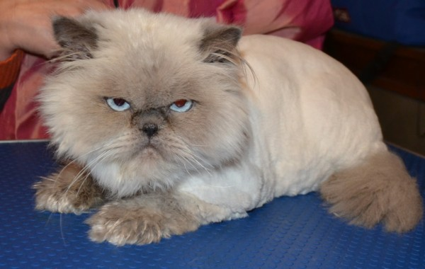 Fluffy is a Himalayan breed pampered by Kylies Cat Grooming Services Also All Size Dogs