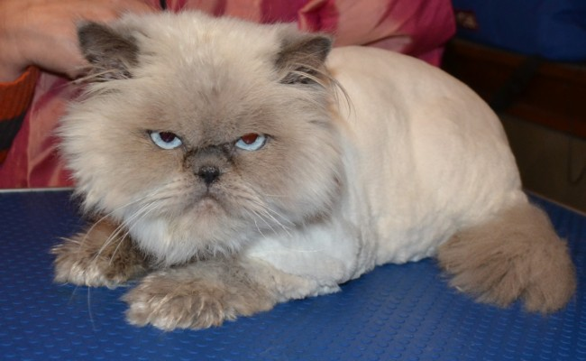 uffy is a Himalayan breed pampered by Kylies Cat Grooming Services Also All Size Dogs