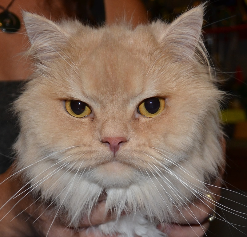 King - Persian breed, pampered by Kylies Cat Grooming Services Also All Size Dogs