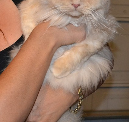 King – Persian breed, pampered by Kylies Cat Grooming Services