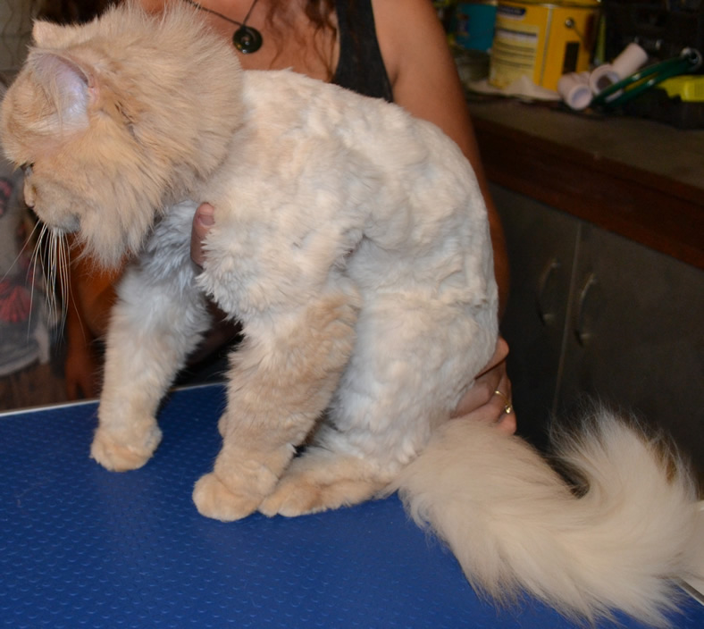 King - Persian breed, pampered by Kylies Cat Grooming Services