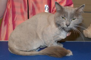 Kit is a Russian Blue pampered by Kylies Cat Grooming Services and also all size dogs