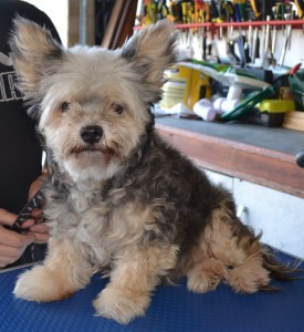 Little Girl - Pomeranian x Maltese terrier pampered by Kylies Cat Grooming Services