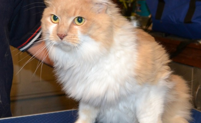 Before – Meisha is a Persian X breed pampered by Kylies Cat Grooming Services and also all size dogs