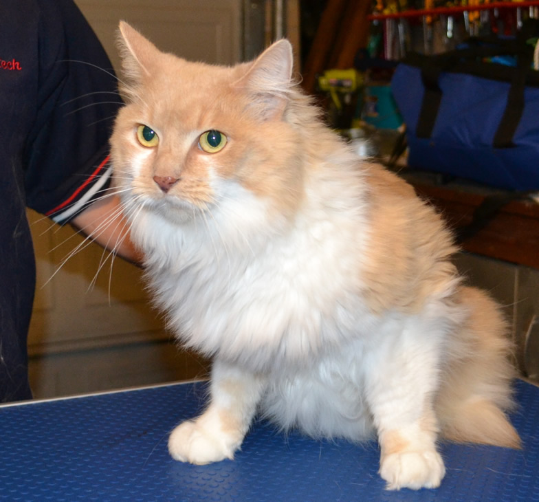 Meisha is a Persian X breed pampered by Kylies Cat Grooming Services and also all size dogs