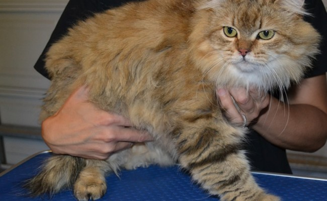 Minnie: The long haired moggy cat pampered by Kylies Cat Grooming Services Also All Size Dogs