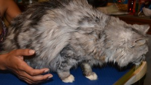 Missy - Before Photo - Chinchilla breed, pampered by Kylies Cat Grooming Services