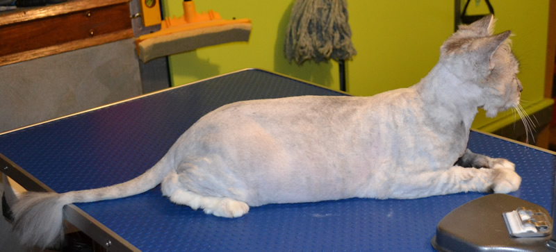 Missy - After Photo - Chinchilla breed, pampered by Kylies Cat Grooming Services