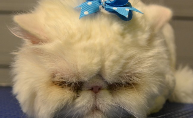 Mr Myagi is a Persian. Pampered by Kylies Cat Grooming Services Also All Dogs.