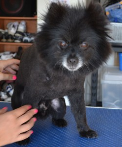 Romeo is a Black Pomeranian pampered by Kylies Cat Grooming Services also all size dogs.
