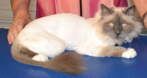 After - Sasha is a Birman Cat pampered by Kylies Cat Grooming Services and also all size dogs