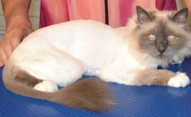 After – Sasha is a Birman Cat pampered by Kylies Cat Grooming Services and also all size dogs