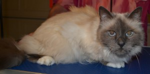 Before - Sasha is a Birman Cat pampered by Kylies Cat Grooming Services and also all size dogs