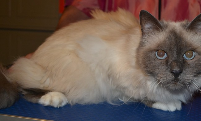 Before – Sasha is a Birman Cat pampered by Kylies Cat Grooming Services and also all size dogs