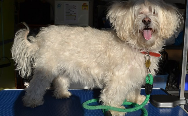 Before – Snowy is a Maltese Terrier Cross breed pampered by Kylies Cat Grooming Services