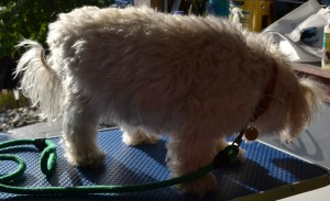 Snowy is a Maltese Terrier Cross breed pampered by Kylies Cat Grooming Services
