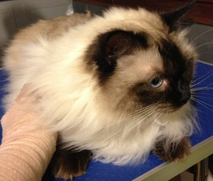 Soxy is a Ragdoll. Pampered by Kylies Cat Grooming Services Also All Dogs.