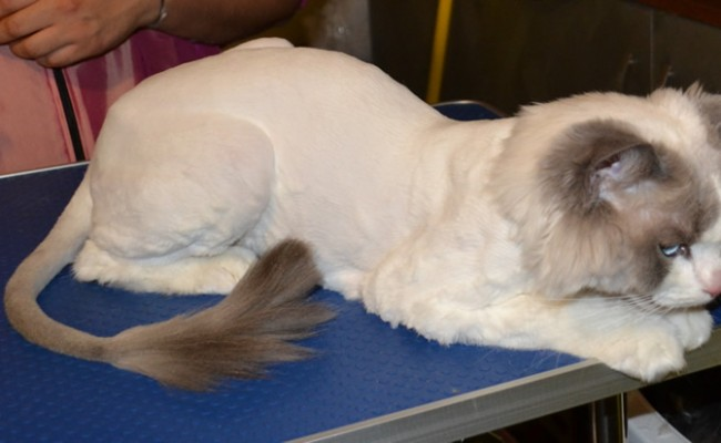 After: Sykes is a ragdoll breed pampered by Kylies Cat Grooming Services and also all size dogs