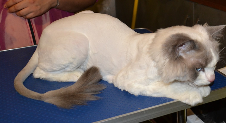 Sykes is a ragdoll breed pampered by Kylies Cat Grooming Services and also all size dogs