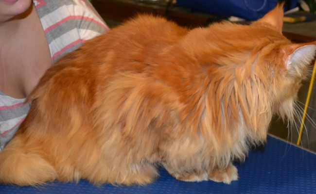 Before –  Thor is a MaineCoon breed pampered by Kylies Cat Grooming Services and all size dogs