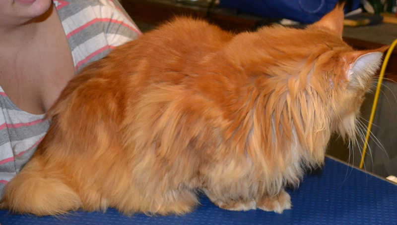 Before - Thor is a MaineCoon breed pampered by Kylies Cat Grooming Services and all size dogs
