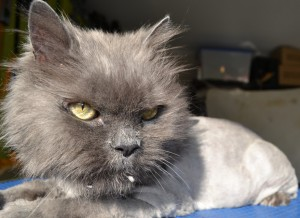 Angel is a 19 year old Persian breed pampered by Kylies Cat Grooming Services also all size dogs!