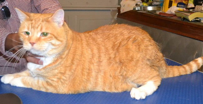 BaoBao is a Domestic Ginger Cat pampered by Kylies Cat Grooming Services and also all size dogs!