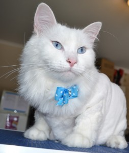 Bear is Turkish Angora cat who is completely deaf, pampered by Kylies Cat Grooming Services and all size dogs!. Such a beautiful cat! looks amazing.