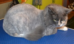 Beatrice is a 14 year old medium length haired moggy pampered by Kylies Cat Grooming Services and all size dogs. Looks a million bucks!