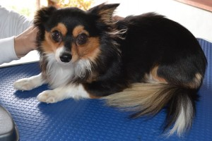 Chanel - (Short hair Chiwawa) pampered by Kylies Cat Grooming Services also all size dogs!.