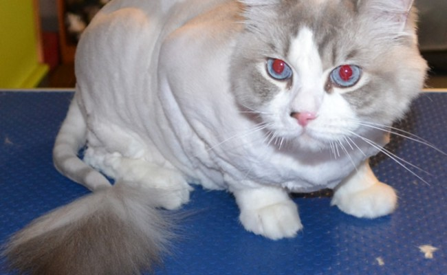 Cody is a ragdoll cat pampered by Kylies Cat Grooming Services also all size dogs. How smooth does he look, thanks Kylie!