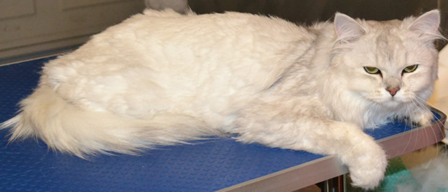 Before: Dusty is a Burmilla breed pampered by Kylies Cat Grooming Services and also all size dogs!